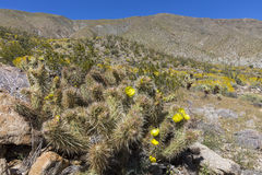 Cacti and Wildflowers blooming in Anza-Borrego State Park, Calif Stock Images