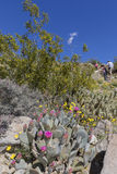 Cacti and Wildflowers blooming in Anza-Borrego State Park, Calif Royalty Free Stock Photos