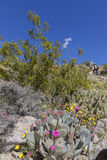 Cacti and Wildflowers blooming in Anza-Borrego State Park, Calif Stock Photo