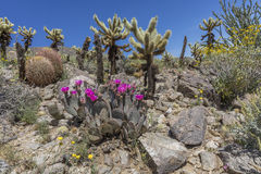 Cacti and Wildflowers Blooming in a California Desert in Spring Stock Photos