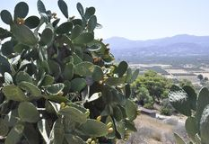 Cactis shrub with ripe fruits in Festos Archaeological Site from Crete island. Of Greece on september 2017 royalty free stock photography