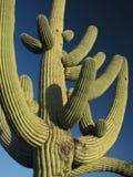 Cacto 1 del Saguaro Imagen de archivo libre de regalías