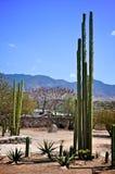 Cacto alto en México fotografía de archivo