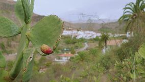 Cacto amarelo com fruto nele e com a cidade em seu fundo vídeos de arquivo