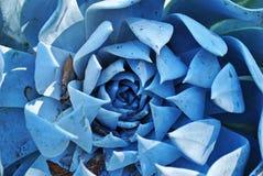 Cacto azul Imagem de Stock