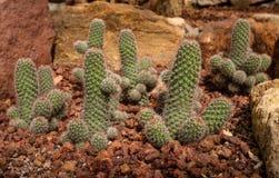 Cacto bonito com forma fálico no jardim rochoso Imagem de Stock Royalty Free