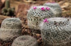 Cacto bonito com pouca flor roxa no jardim, no fundo e na textura de rocha Fotografia de Stock