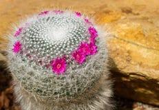 Cacto bonito com pouca flor roxa no jardim, no fundo e na textura de rocha Fotografia de Stock Royalty Free