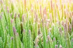 Cacto bonito no jardim Fotos de Stock Royalty Free