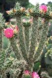 Cacto com as flores cor-de-rosa brilhantes Imagem de Stock