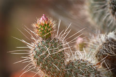 Cacto com espinhas e flor no deserto seco Imagens de Stock Royalty Free