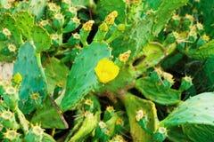 Cacto com a flor de florescência nela - fora tiro do close up Foto de Stock Royalty Free