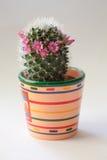 Cacto com flores Imagens de Stock Royalty Free