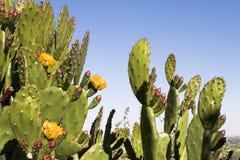 Cacto com flores Fotos de Stock