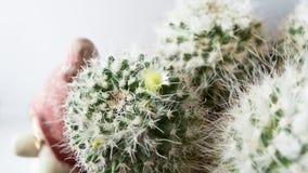 Cacto com flores brancas Imagens de Stock Royalty Free