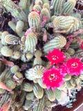 Cacto com flores vermelhas Imagens de Stock Royalty Free