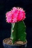Cacto cor-de-rosa Foto de Stock Royalty Free