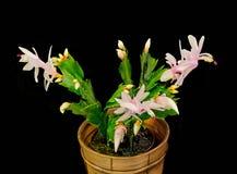 Cacto cor-de-rosa, branco do Schlumbergera, de Natal ou de cacto da ação de graças flores, em um potenciômetro de flor marrom, fi Imagens de Stock