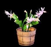 Cacto cor-de-rosa, branco do Schlumbergera, de Natal ou de cacto da ação de graças flores, em um potenciômetro de flor marrom, fi Fotos de Stock Royalty Free