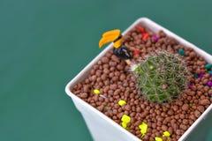 Cacto crescido como as plantas decorativas bonitas Fotos de Stock Royalty Free