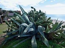 Cacto da agave na natureza livre imagem de stock