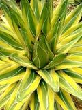 Cacto 1 da agave: Planta de deserto Imagem de Stock