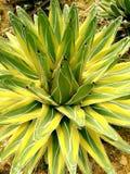 Cacto 2 da agave: Planta de deserto Foto de Stock Royalty Free