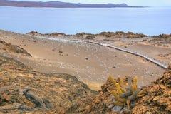 Cacto da lava que cresce na ilha de Bartolome no Pa nacional de Galápagos Foto de Stock Royalty Free