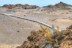 Cacto da lava que cresce na ilha de Bartolome no Pa nacional de Galápagos Imagem de Stock Royalty Free