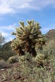 Cacto de Arizona Fotos de archivo