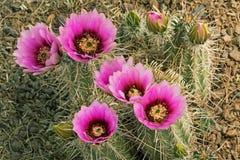 Cacto de Beavertail na flor fotos de stock royalty free
