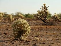 Cacto de Cholla no deserto de Sonoran Imagem de Stock