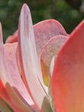 Cacto de Echeveria do pavão Fotografia de Stock Royalty Free