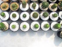 Cacto de Echinopsis Calochlora fotografia de stock royalty free