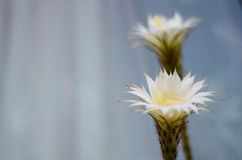 Cacto de Echinopsis Subdenudata Fotos de Stock