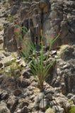 Cacto de florescência #2 do Ocotillo Fotografia de Stock Royalty Free