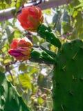 Cacto de florescência Imagem de Stock Royalty Free