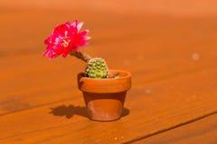 Cacto de florescência Imagens de Stock