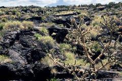Cacto de florescência Cholla de Bush no campo de lava do fundo Vale de Foto de Stock Royalty Free