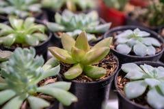 Cacto de florescência do amor perfeito de Echeveria no potenciômetro foto de stock