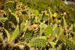Cacto de florescência e wildflowers gerais do indiano Imagem de Stock Royalty Free