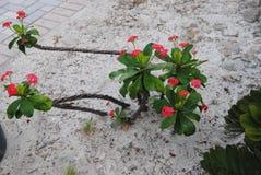 Cacto de florescência vermelho Foto de Stock Royalty Free