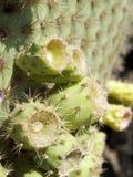 Cacto de Galápagos Fotos de Stock
