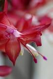 Cacto de la Navidad rojo Foto de archivo libre de regalías