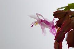 Cacto de Natal Imagens de Stock Royalty Free