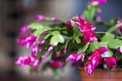 Cacto de Natal cor-de-rosa bonito em um potenciômetro de argila Fotos de Stock