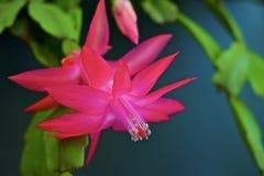 Cacto de Natal cor-de-rosa Cacto da ação de graças Cacto do feriado do caranguejo Zygocactus de Truncata do Schlumbergera Fotos de Stock