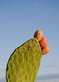 Cacto de pera espinhosa Fotografia de Stock