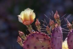 Cacto de pera espinhosa com em flor aberta Imagens de Stock Royalty Free