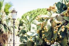 Cacto de pera espinhosa com os frutos igualmente conhecidos como o Opuntia, opuntia do figo ficus-indica, indiano na rua de Catan imagens de stock royalty free